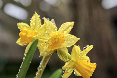 Gardening, cultivation, environment and care concept with yellow flowers narcissus with rain drops. Stock Photo