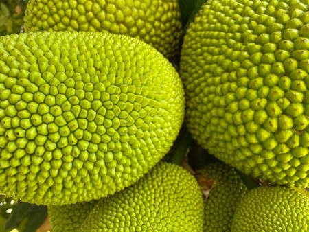Jack fruit, the largest fruit in the world. Delicious green fruit