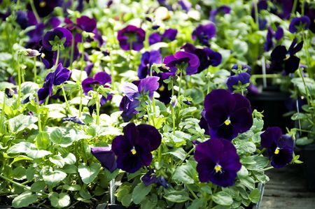 Flats of purple pansies standing proudly waiting for all planting. Stock Photo