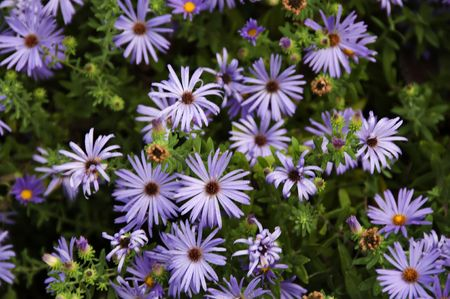 Background of beautiful blue aster flowers in a garden