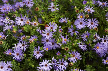 A garden of blue asters gleaming with beauty.