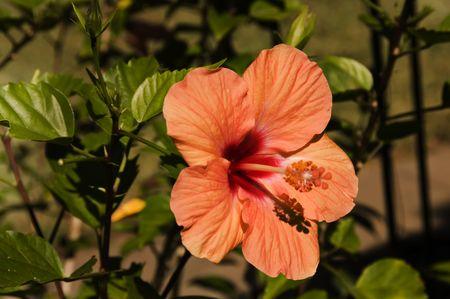 Een Single peach kleur hibiscus gloeien in de late middag.
