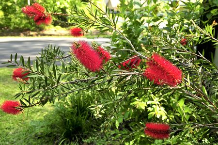 reigning: A red bottle brush plant reigning over the garden