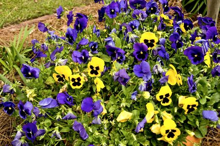 Flower bed of multi-colored pansies in winter
