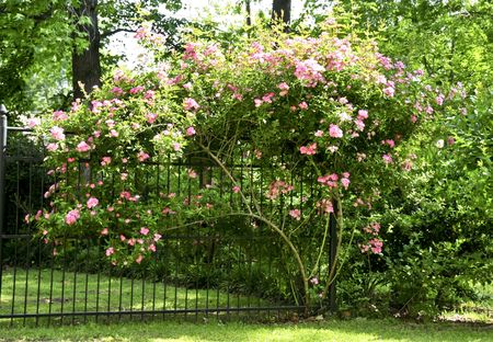Garden gate with pink roses flowing over