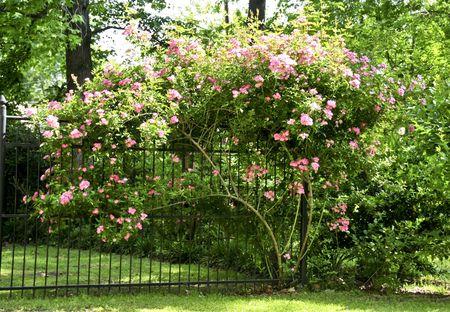 Tuin gate met roze rozen stroomt over