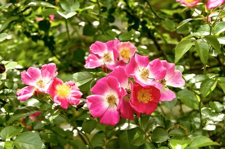 A bush of old fashion pink roses and greenery Stock Photo - 3791862