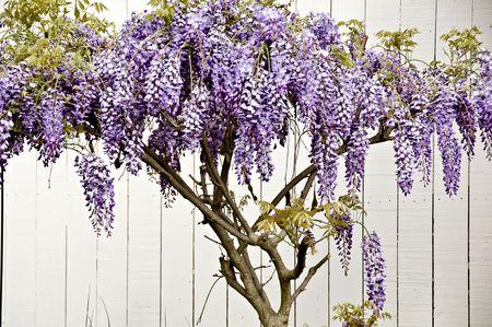 白いフェンスで紫の藤のつる。