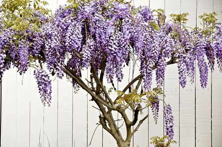 A vine of purple wisteria with a white fence.