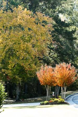クレープ myrtles 鮮やかな黄金の秋の色。