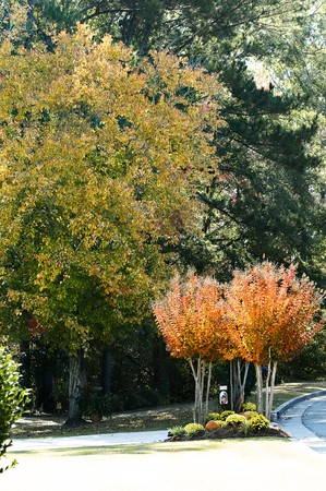 Crepe myrtles in vibrant golden fall colors. Stock Photo