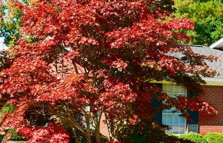 Een levendige rode en oranje rode leaf maple schijnt in de glorie van de herfst.
