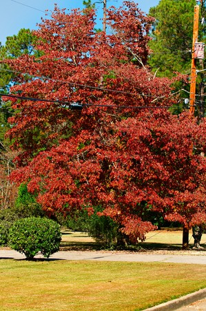 A tree with vibrant Fall color shing with glory.