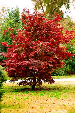 A vibrant red maple tree glowing in the fall