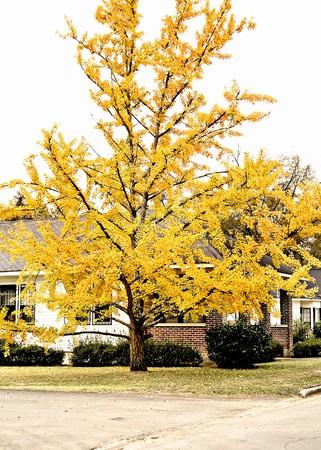 明るい黄色のゴールデンオーク披露紅葉します。