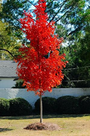 A bright, vibrant orange tree with brilliant fall color