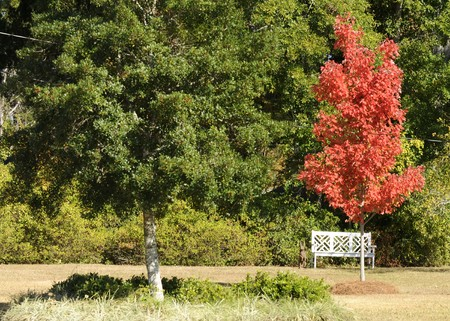 A fall tree in bright red accompanied with a green tree, bench and rabbit. Stock Photo