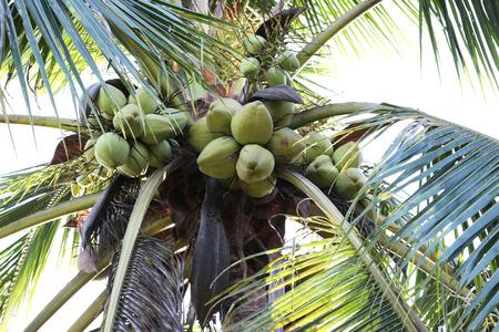 Coconut tree in garden Reklamní fotografie