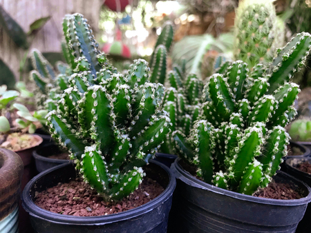 Various dwarf cactus species in black pot