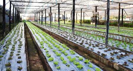 Greenhouse grown lettuce rows beautiful. Banco de Imagens