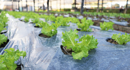 Farm-grown lettuce little ground covered with a plastic bag. Banco de Imagens