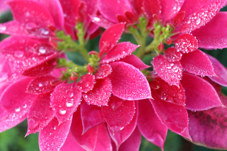 Drops of dew on  poinsettia.