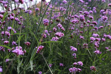 Purple Verbena flowers are blooming in the garden. Reklamní fotografie