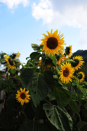Sunflower on background