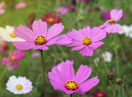 Cosmos flowers of various colors blooming in the fields. Banco de Imagens