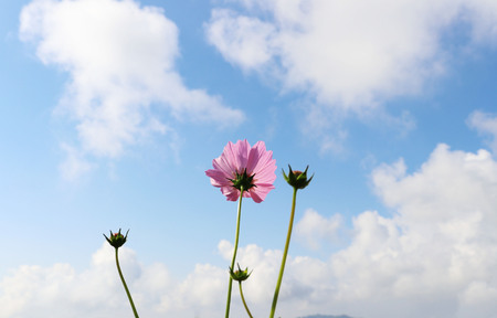 Pink Cosmos flowers bloom in fields and white clouds, blue sky. Banco de Imagens