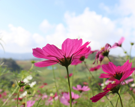 Cosmos flowers of pink colors blooming in the fields.