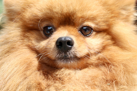 Close-up Pomeranian dog face