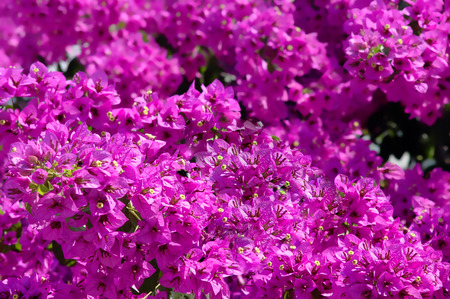 the climate: Purple bougainvilleas in Mediterranean climate Stock Photo