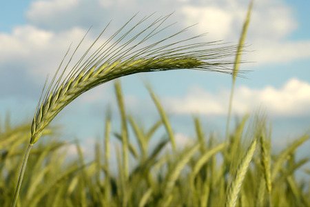 convey: Green wheat waving in the wind-selective shallow focus to convey motion-bokeh effect