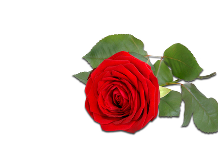 Red rose isolated on a white background Stock Photo