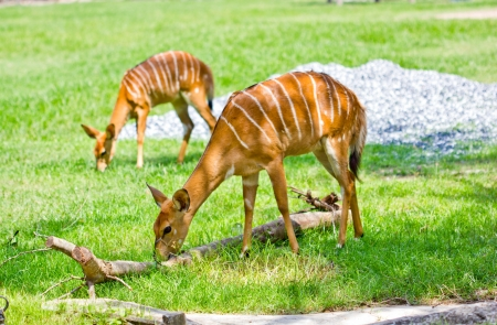 Nyala in the zoo,Thailand photo