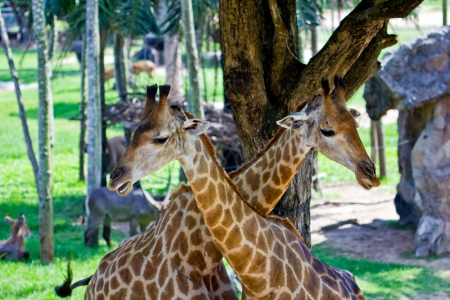 giraffe on the zoo in thailand photo