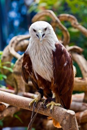 buzzard: Hawk in the zoo,Thailand Stock Photo