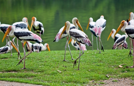 painted stork  Stock Photo - 19907016