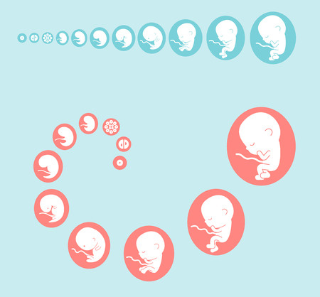 fetus stages Illustration