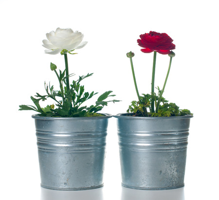 buttercup flower: Two flowers buttercups in metal pots on a white background isolated Stock Photo