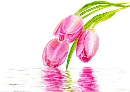 tulips isolated on white background: Three pink tulips over the water on a white background, isolated with copy space Stock Photo