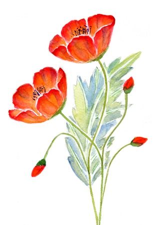 red poppies on green field: Two red poppy with buds and leaves isolated on white background,  watercolor illustration and paper texture Stock Photo