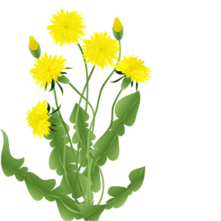 dandelion: Bouquet of dandelions with leaves isolated on a white background, vector illustration Illustration