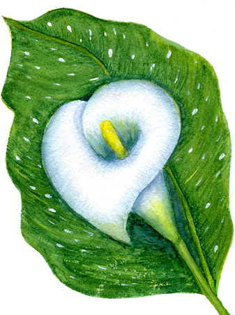 One white calla