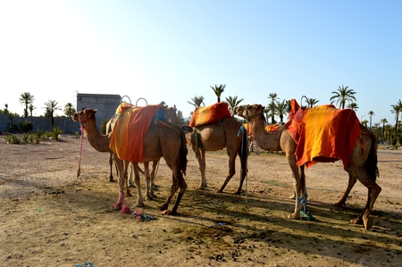A caravan of camels. A caravan of camels is going to be sent on the road. Stock Photo