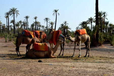 oasis: A caravan of camels. Camel caravan rests before being sent on a long journey. Stock Photo