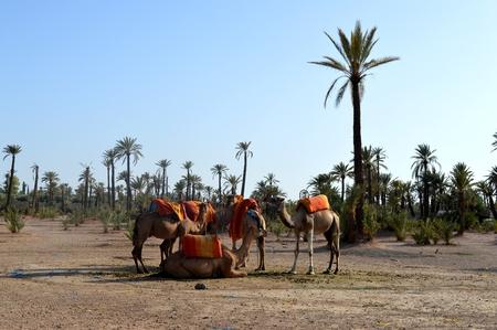 Camels. Caravan. Camel caravan rests before being sent on a long journey ..