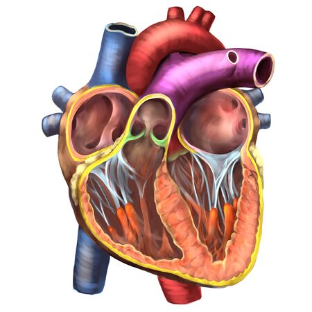 Medical illustration of a cross-section of the heart