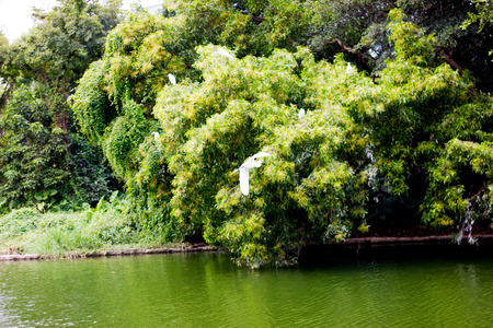 Egrets flying in a green forest photo